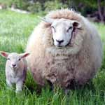 Новозеландская овечья шерсь